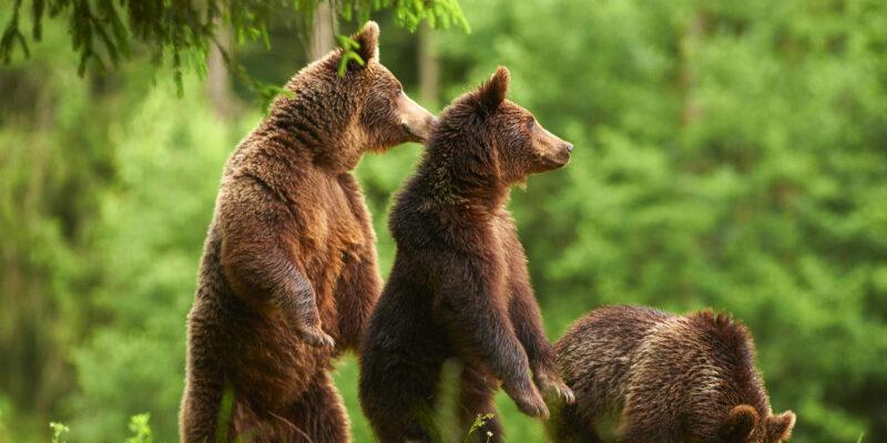 observare de ursi