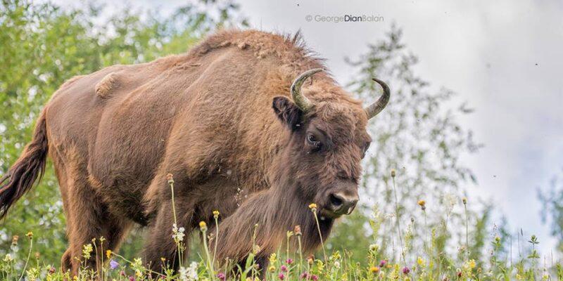 Bison safari pentru grupuri mici