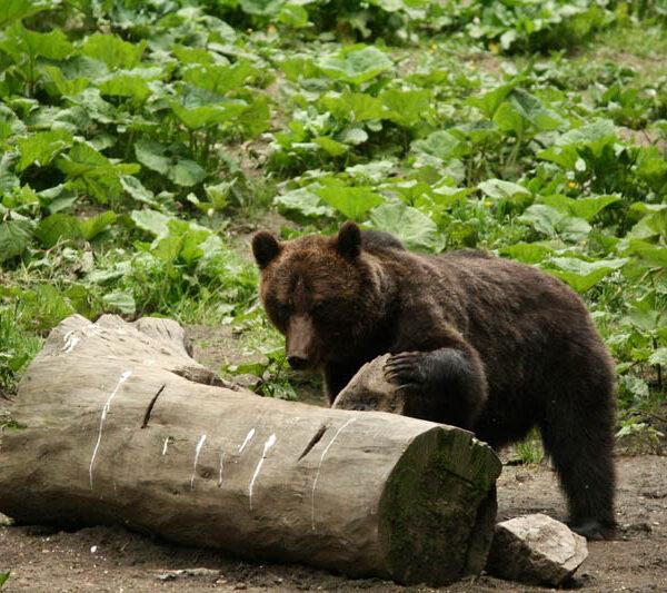 Observare de râs, urs și castor – Excursie de 8 zile