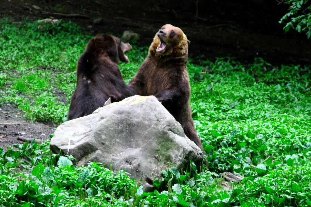 Observare de urși sălbatici – tur scurt