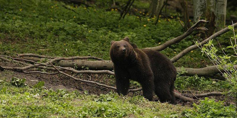 Urși, lupi, mistreți și biserici fortificate